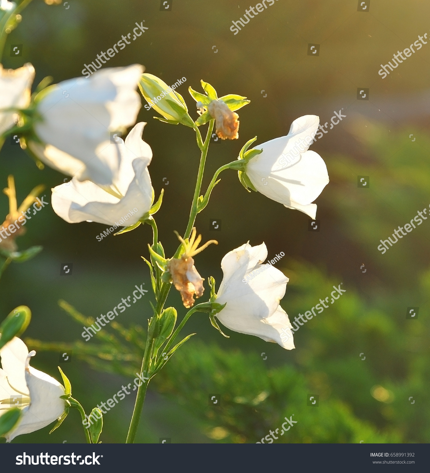 White Bellflower Close Up Campanula Blossom Stock Photo Edit Now