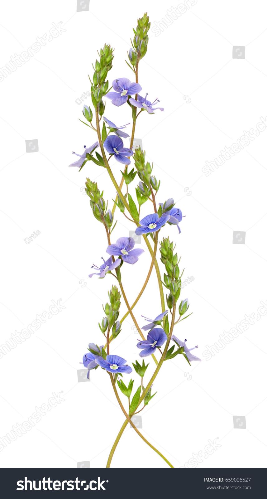 Veronica Foloformis Flowers Wave Arrangement Isolated On White