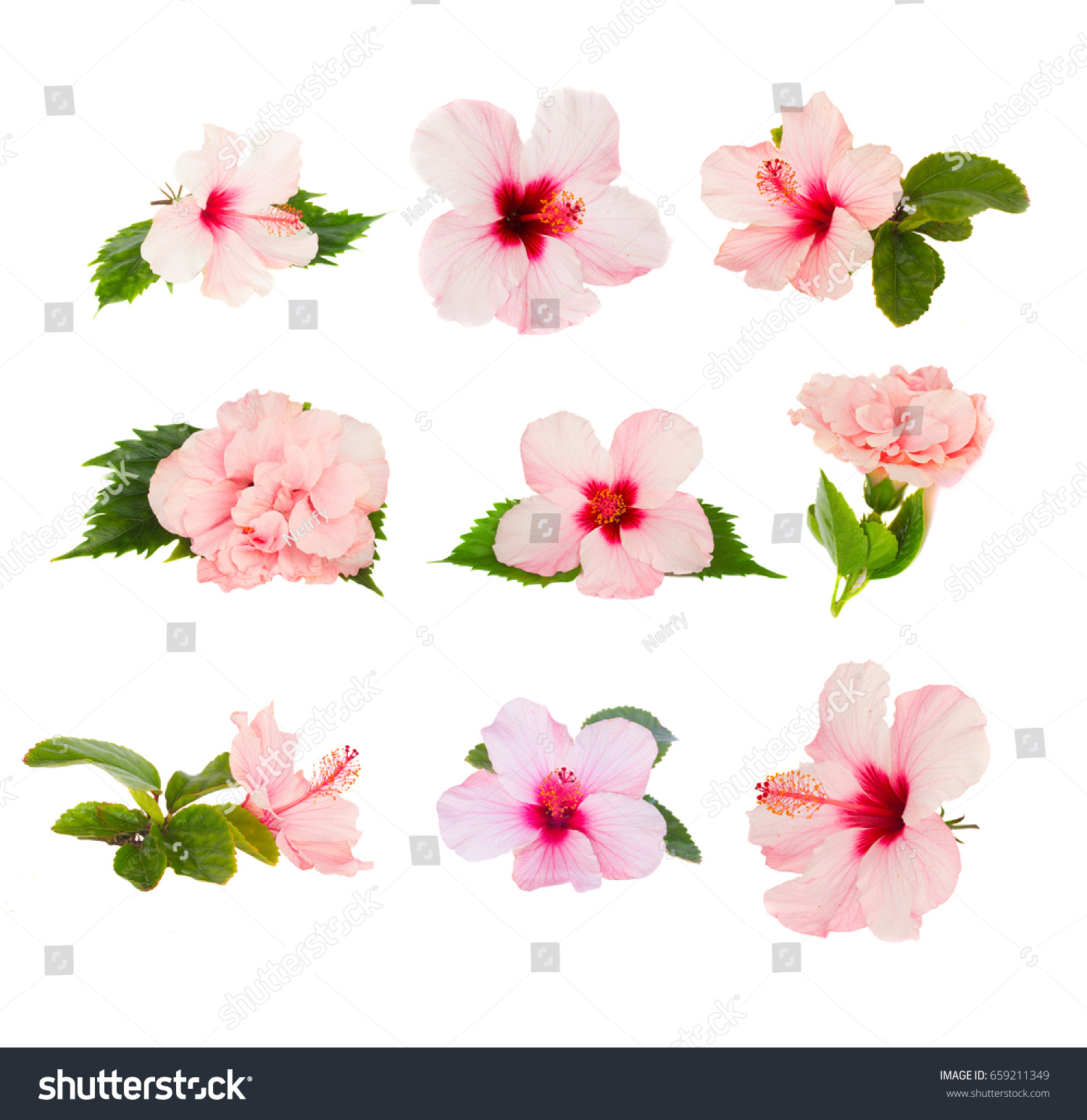 Tropical Flowers Set Fresh Pink Hibiscus Stock Photo Edit Now