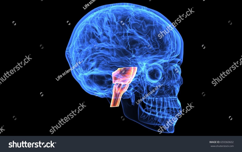 3 D Illustration Human Skull Brain Inter Stock Illustration ...