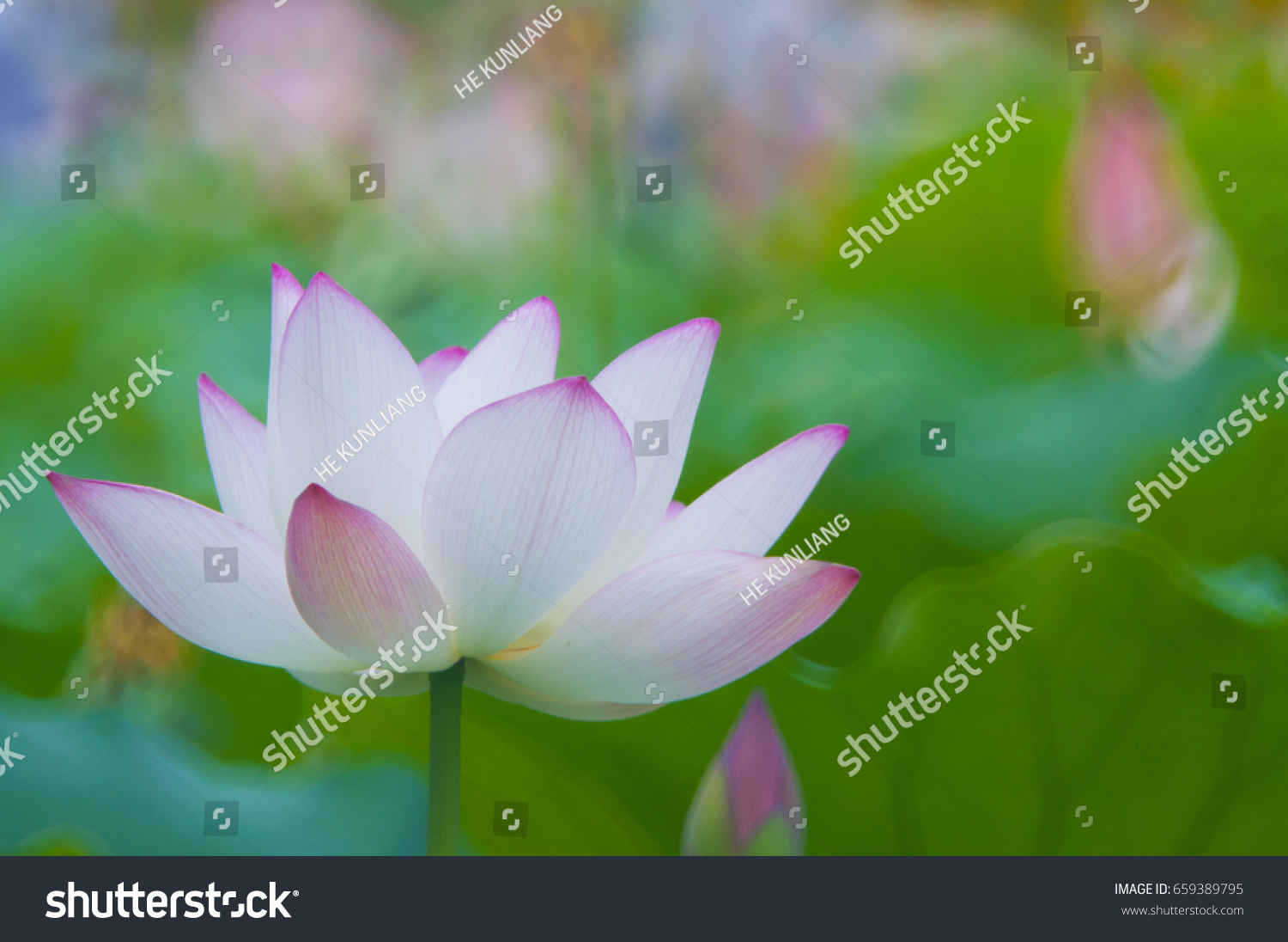 Lotus The Lotus In The Vast Sea I Am Excited To Record Every Flower