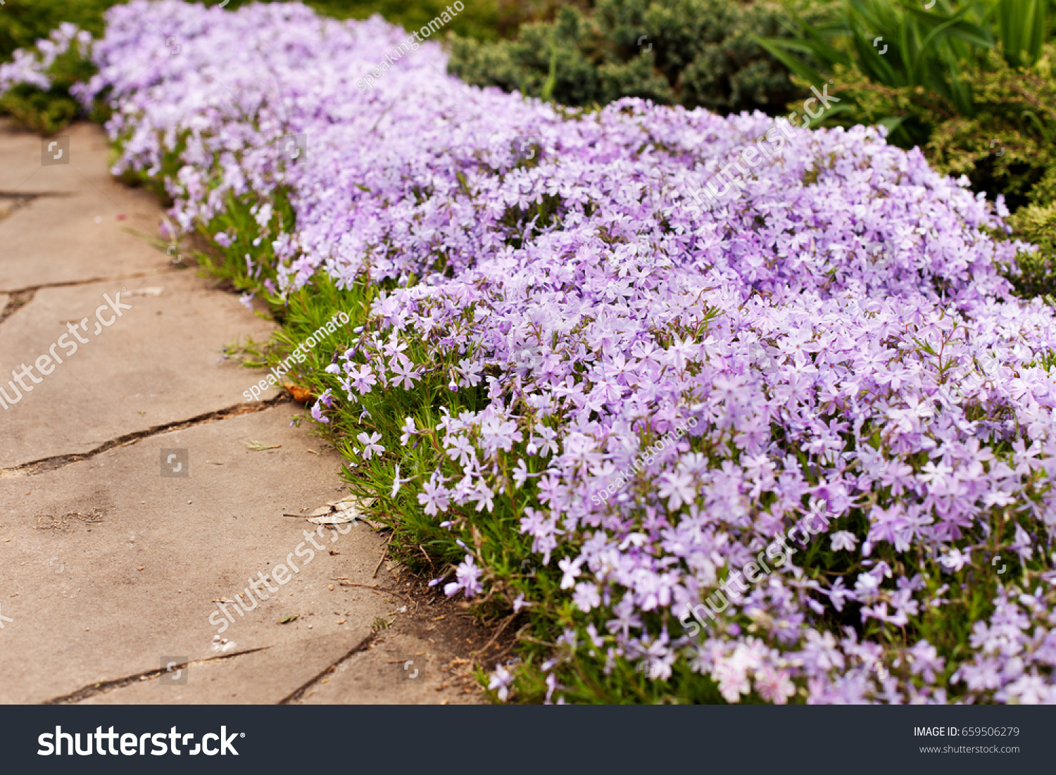 Perennial Ground Cover Blooming Plant Creeping Stock Photo Edit Now