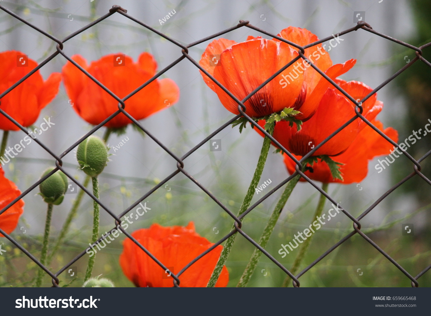 Beautiful Deep Red Poppies Flowers Summer Stock Photo Royalty Free