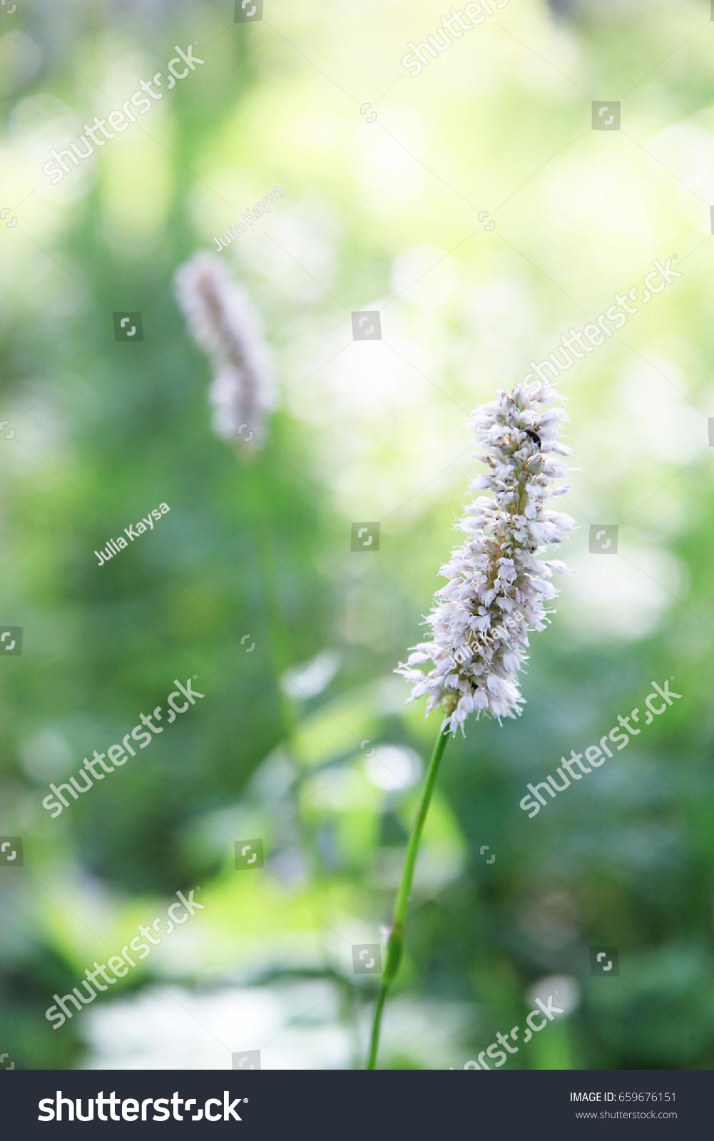 Arctic Clover White Long Flowers Grow Stock Photo Edit Now