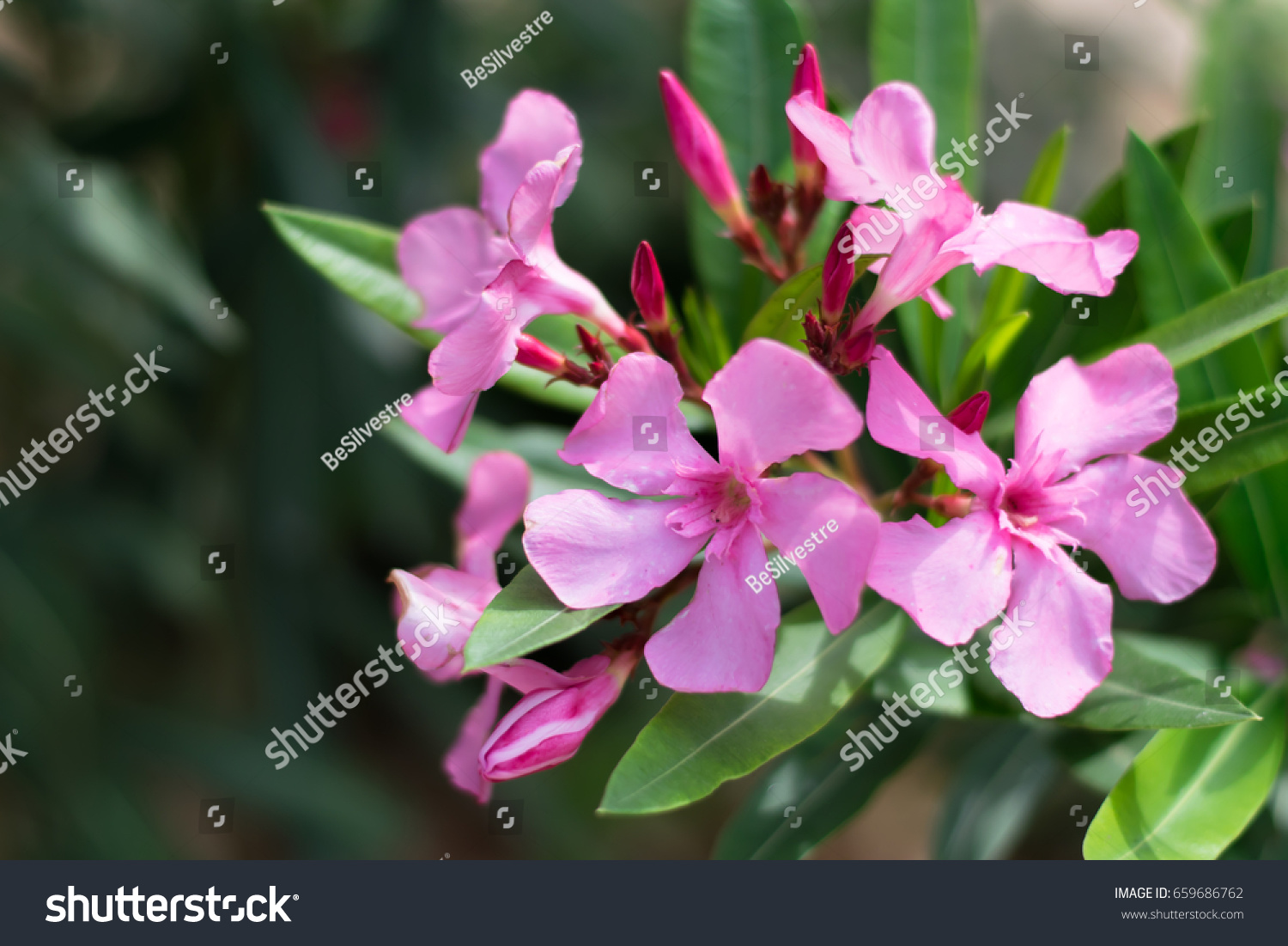 Pink Oleander Flowers Nerium Oleander Apocynaceae Stock Photo Edit
