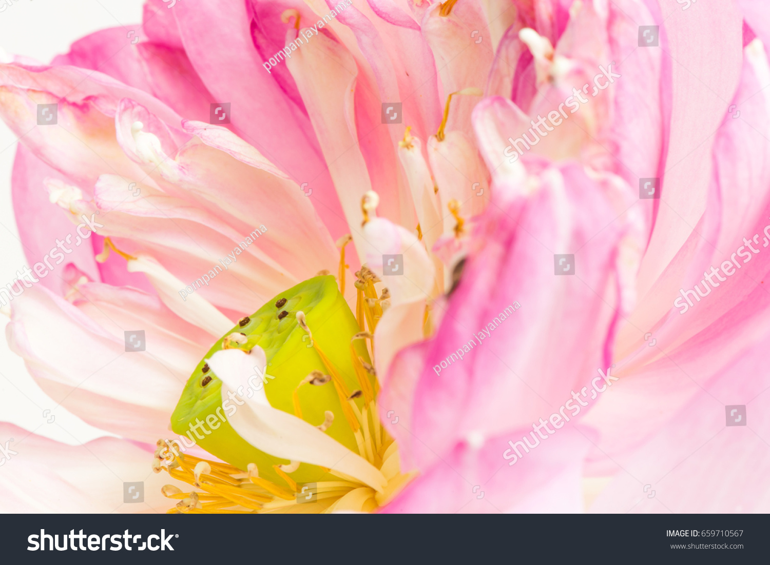 Close open lotus flower blossom stock photo royalty free 659710567 close up of open lotus flower blossom izmirmasajfo Gallery