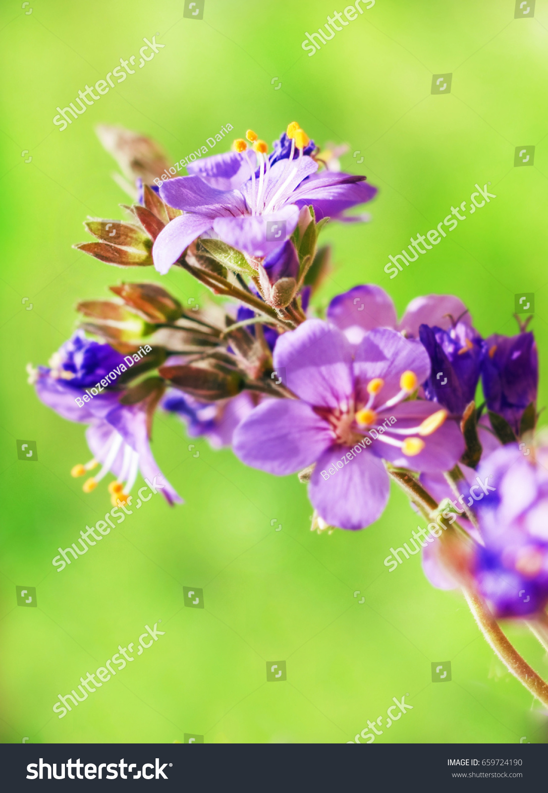 Pretty Summer Purple Flowers On Green Stock Photo 659724190