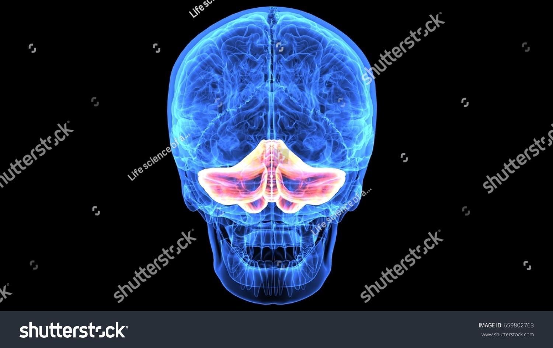 3 D Illustration Human Body Skull Brain Stock Illustration 659802763 ...