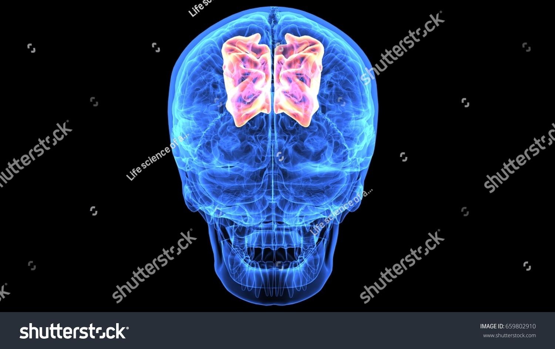 3 D Illustration Human Body Skull Brain Stock Illustration 659802910 ...