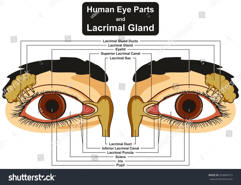 Human Eye Parts Lacrimal Gland Infographic Stock Illustration ...
