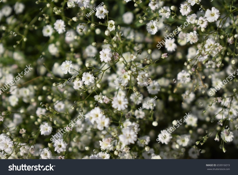 Little white flowers 2 stock photo edit now 659916019 shutterstock little white flowers 2 mightylinksfo