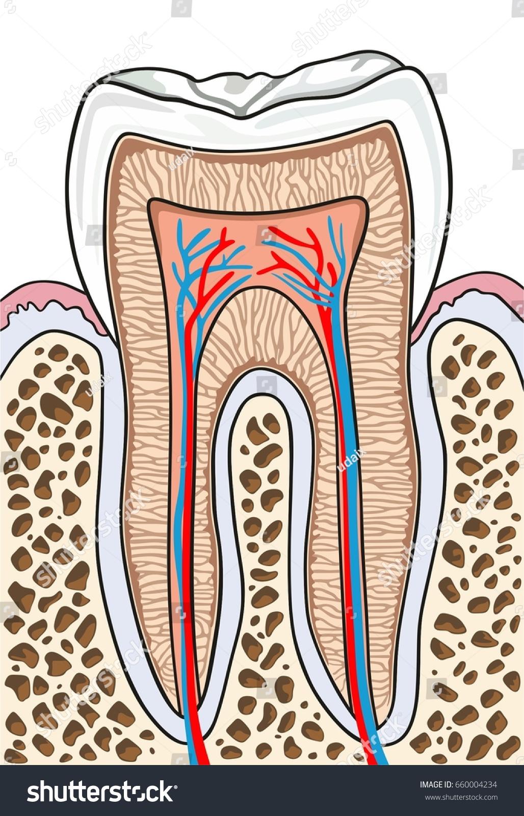 Dental pulp anatomy