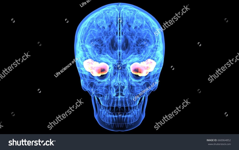 3 D Illustration Human Skull Brain Anatomy Stock Illustration ...