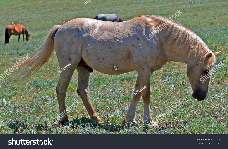 Wild Horse Mustang Palomino Stud Stallion Stock Photo Edit Now 660070717