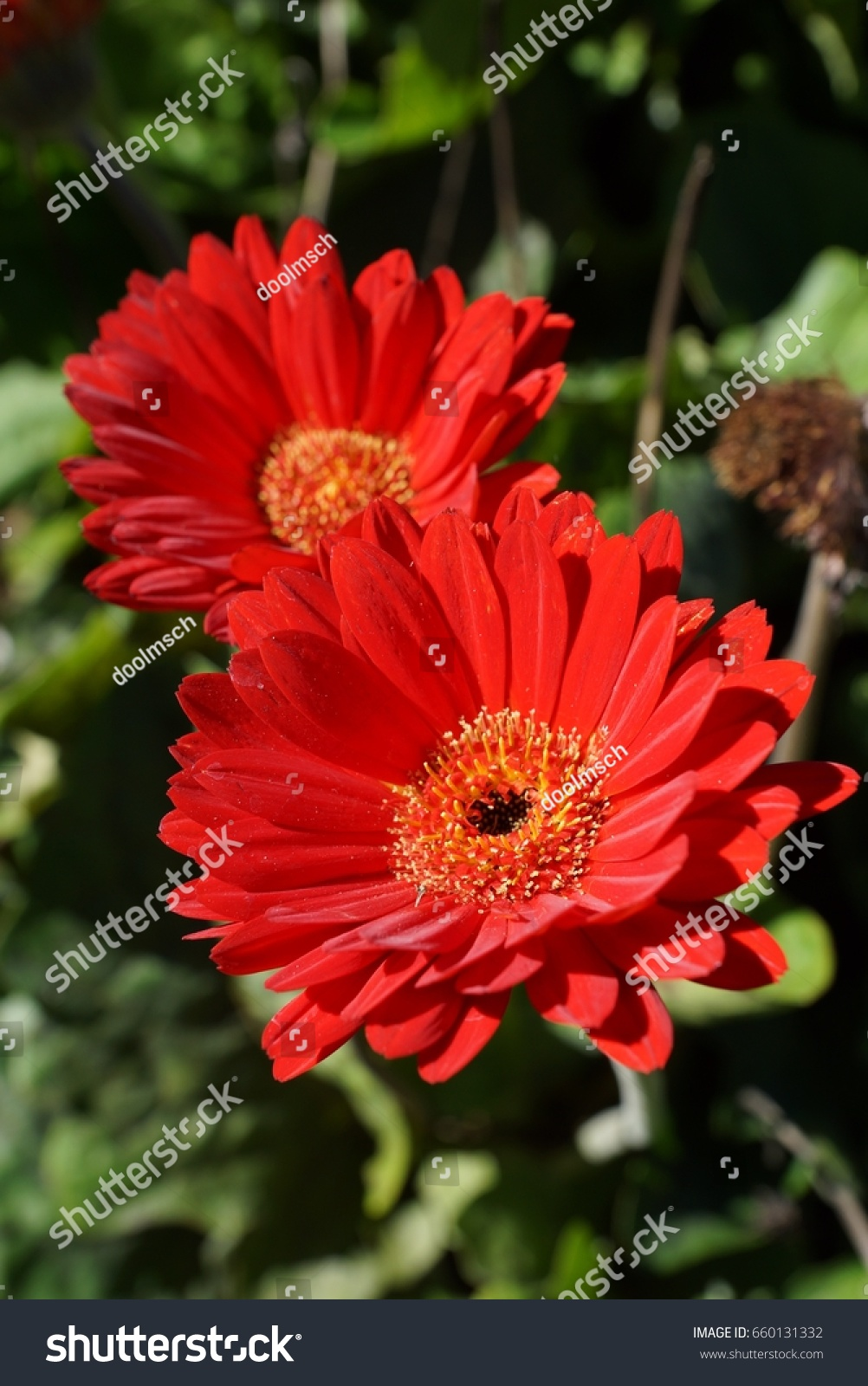 Two bright red daisy flowers closeup stock photo edit now two bright red daisy flowers closeup izmirmasajfo