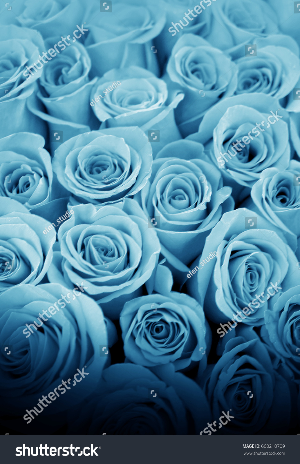 Beautiful blue roses decoration indoor pictures stock photo royalty beautiful blue roses for decoration indoor pictures and postcards izmirmasajfo