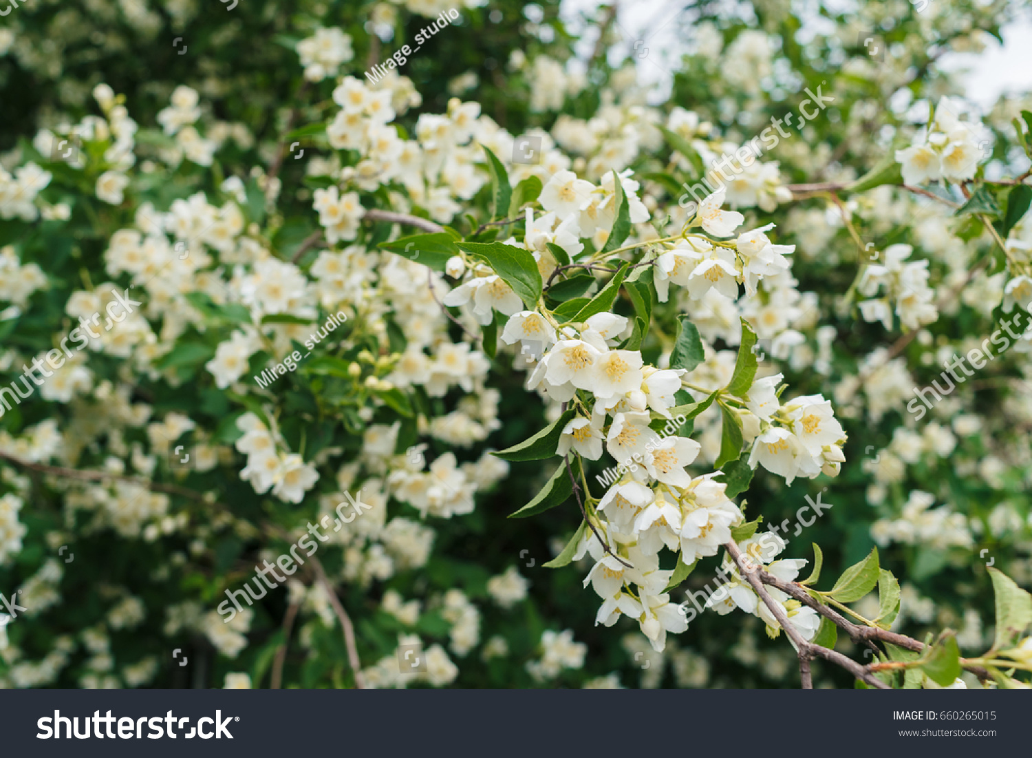 White Flowers Of Apple Trees Spring Landscape Ez Canvas