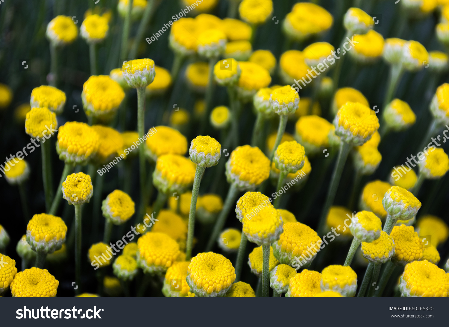 Beautiful Tiny Wild Yellow Flowers Stock Photo Royalty Free