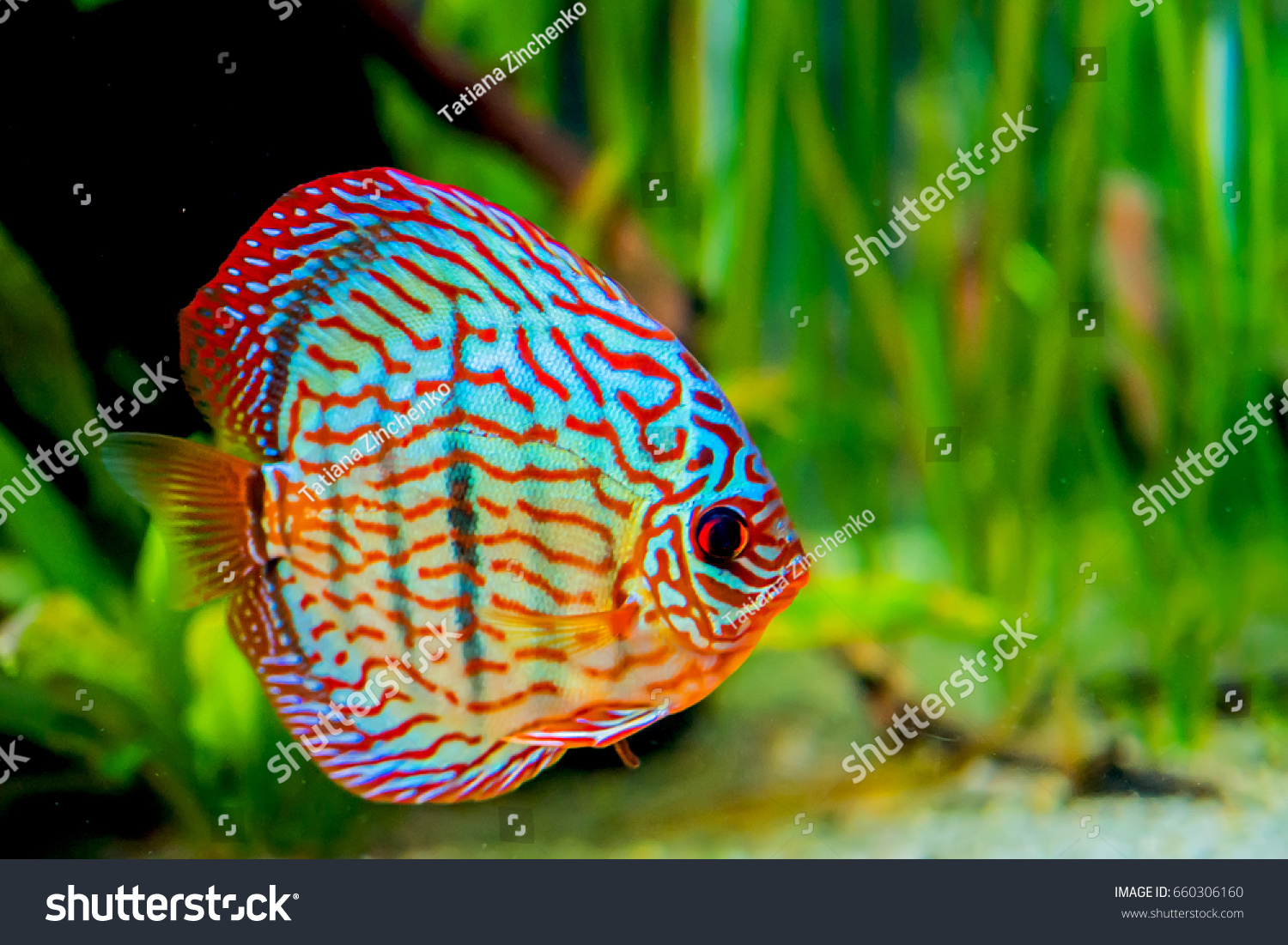 Funny Colorful Fish Aquarium Stock Photo (Safe to Use) 660306160 ...