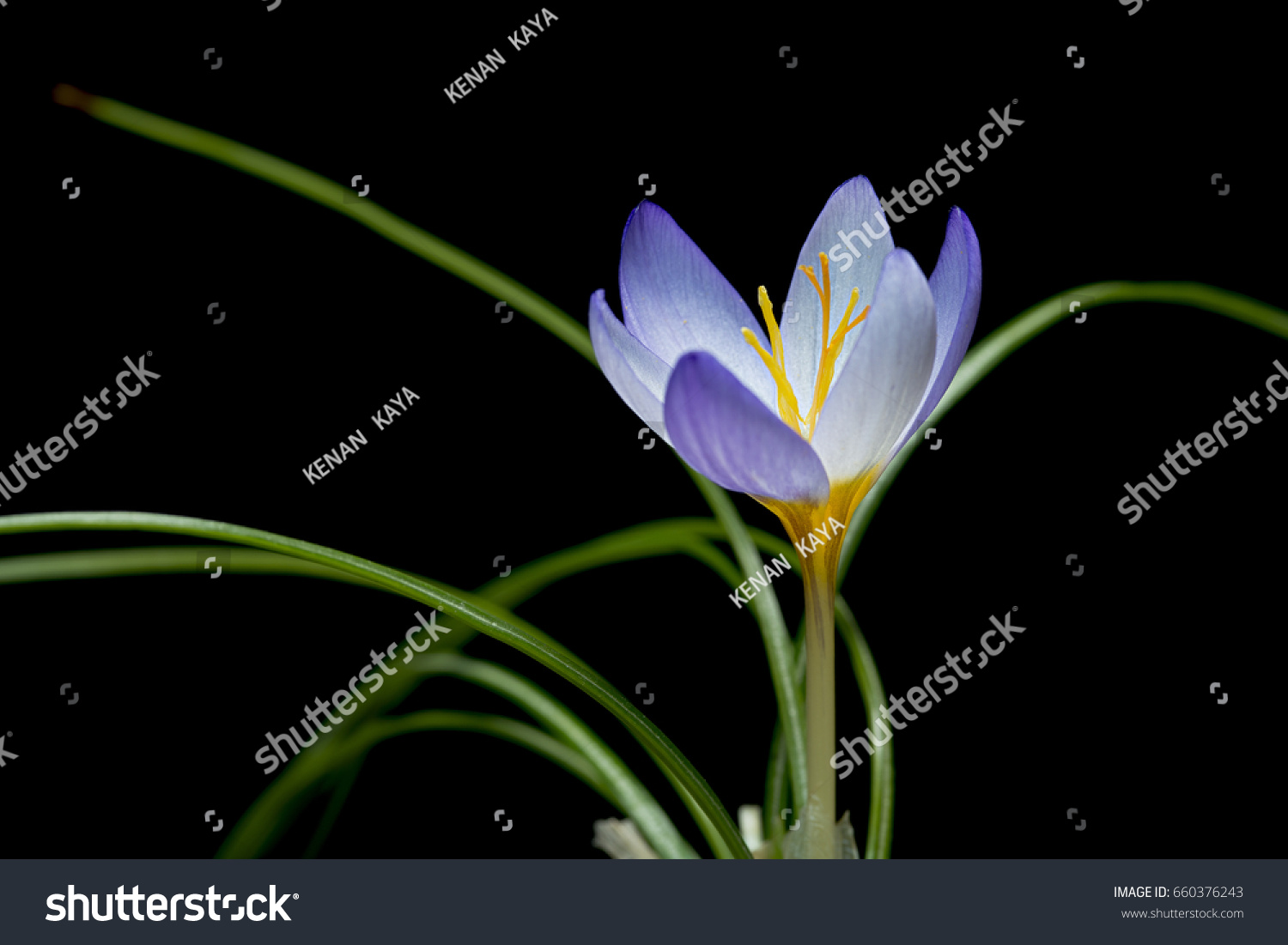 Crocus English Plural Crocuses Croci Genus Stock Photo Edit Now