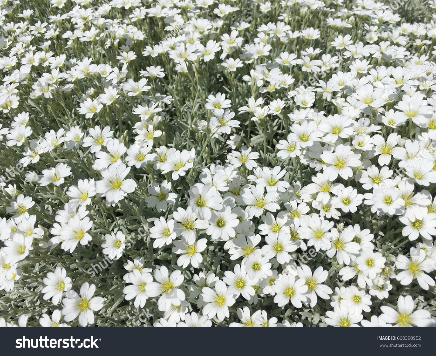 Small White Flowers Spring White Flowers Small White Decorative