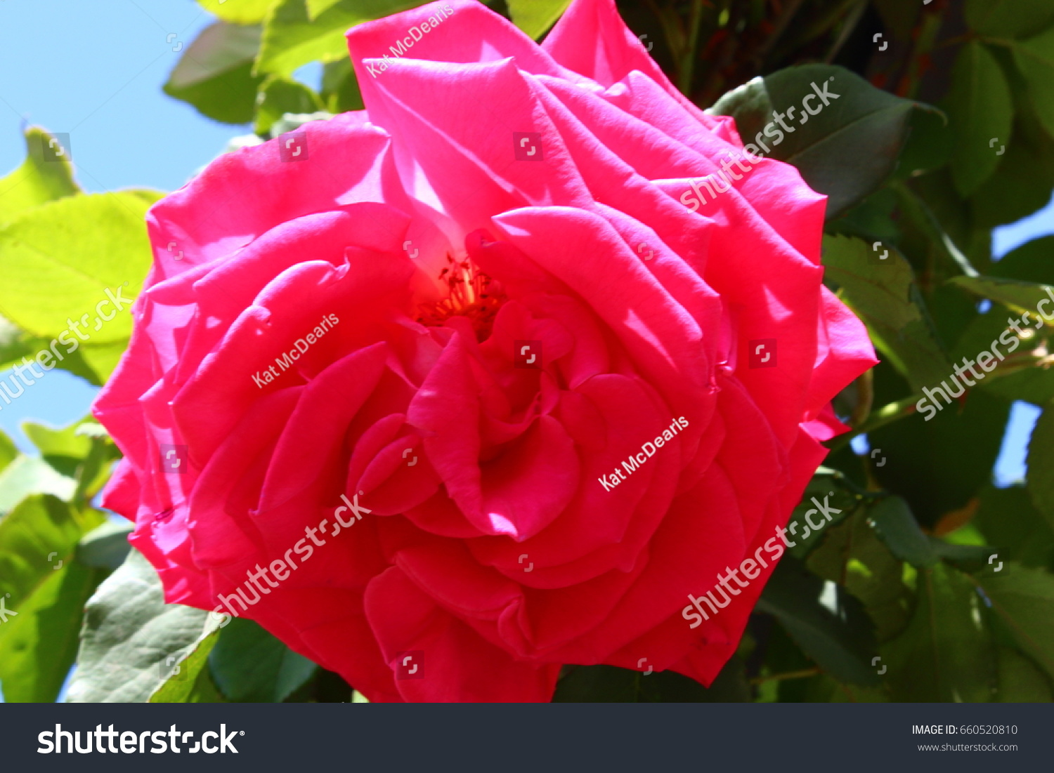 Bright Pink Rose Flower On Bush Stock Photo Edit Now 660520810