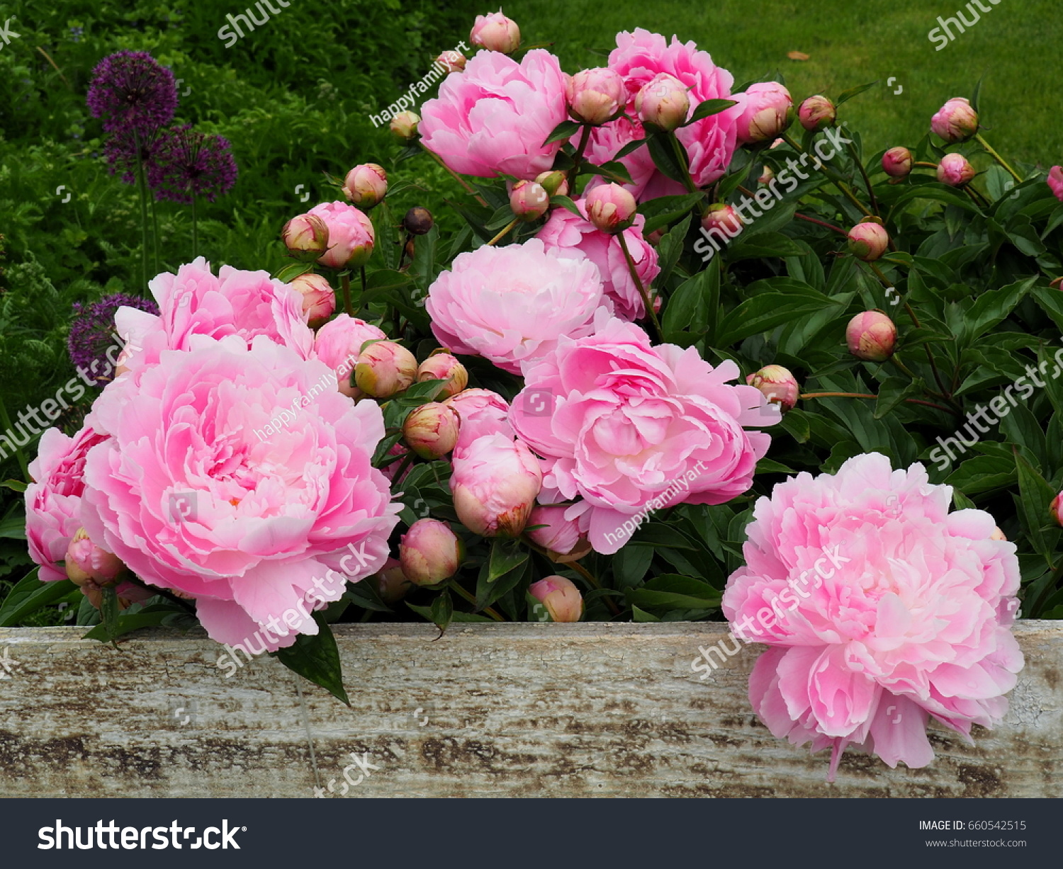 Spring Summer Flowers Giant Pink Peonies Stock Photo Edit Now