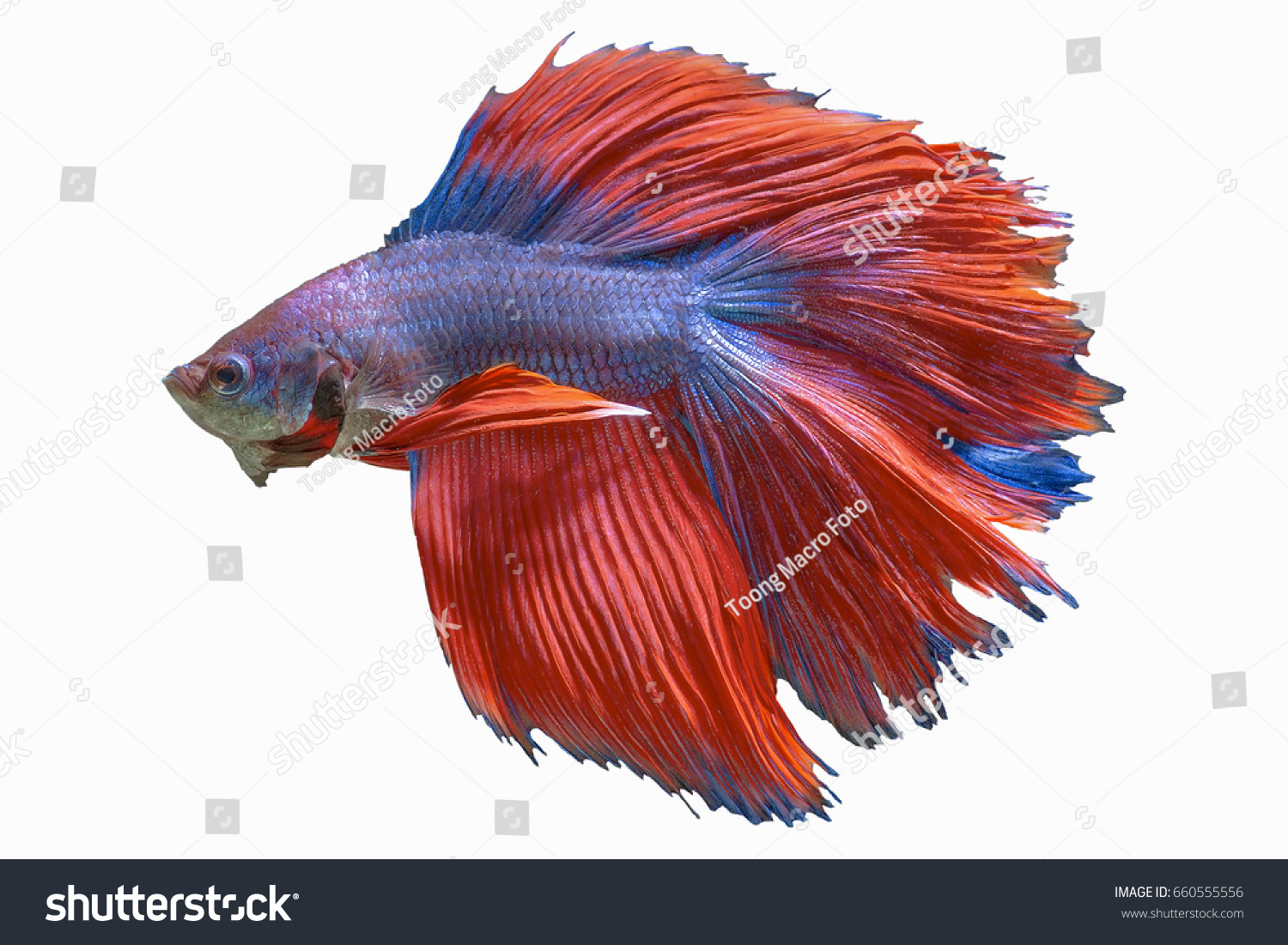 Betta Double Tail On Isolated Background Stock Photo (Royalty Free ...