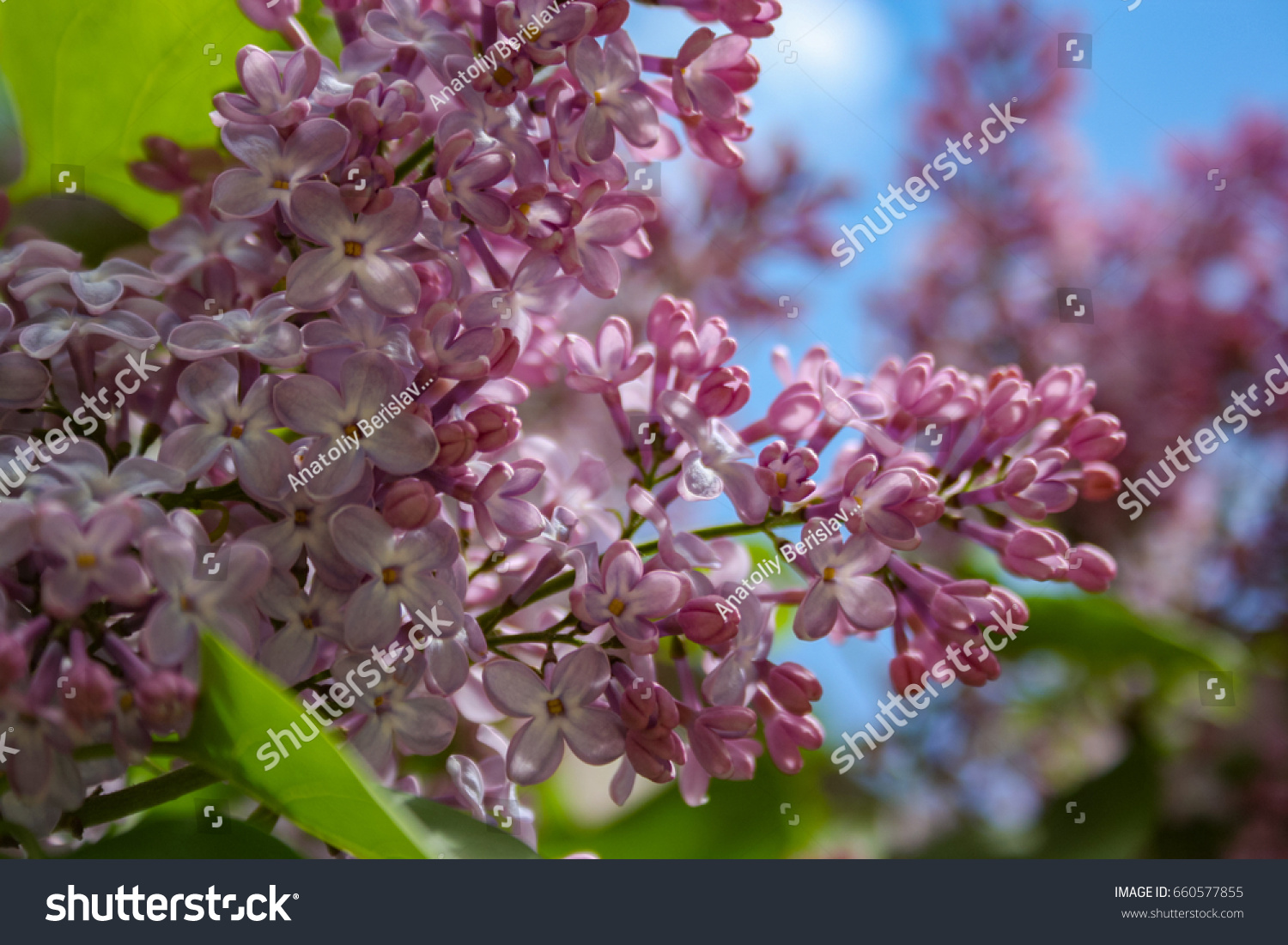 Lilac Blooms A Beautiful Bunch Of Flowers Closeup Spring Flowering