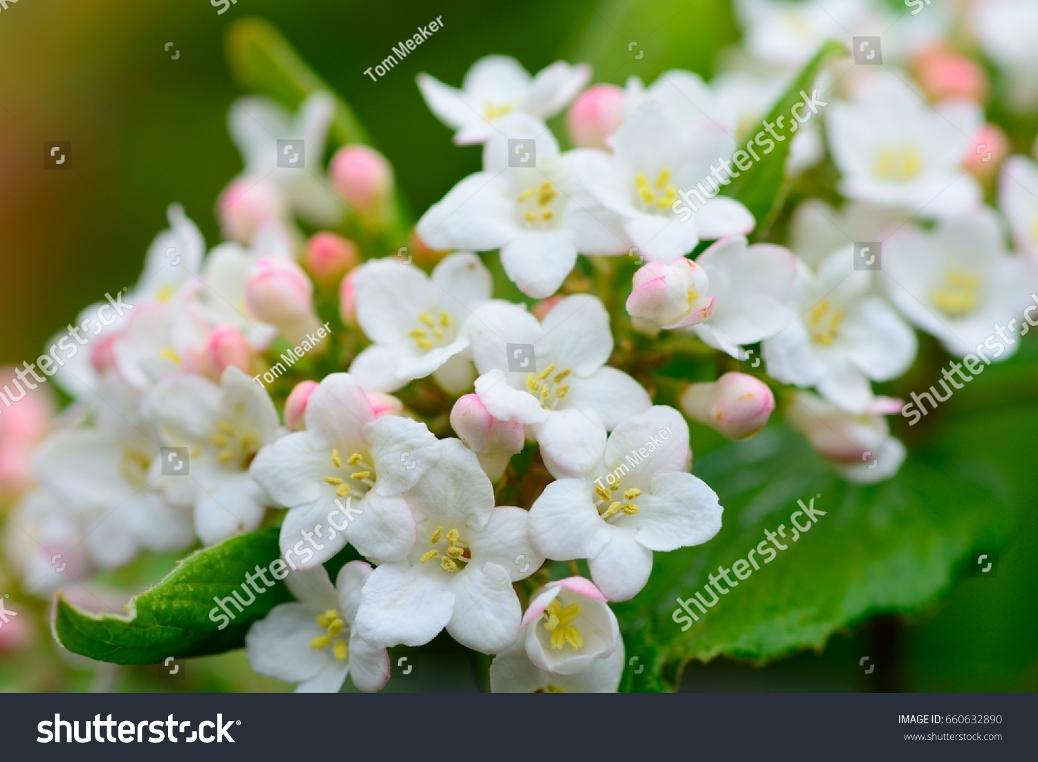 Close Pink White Viburnum Flowers Stock Photo Royalty Free