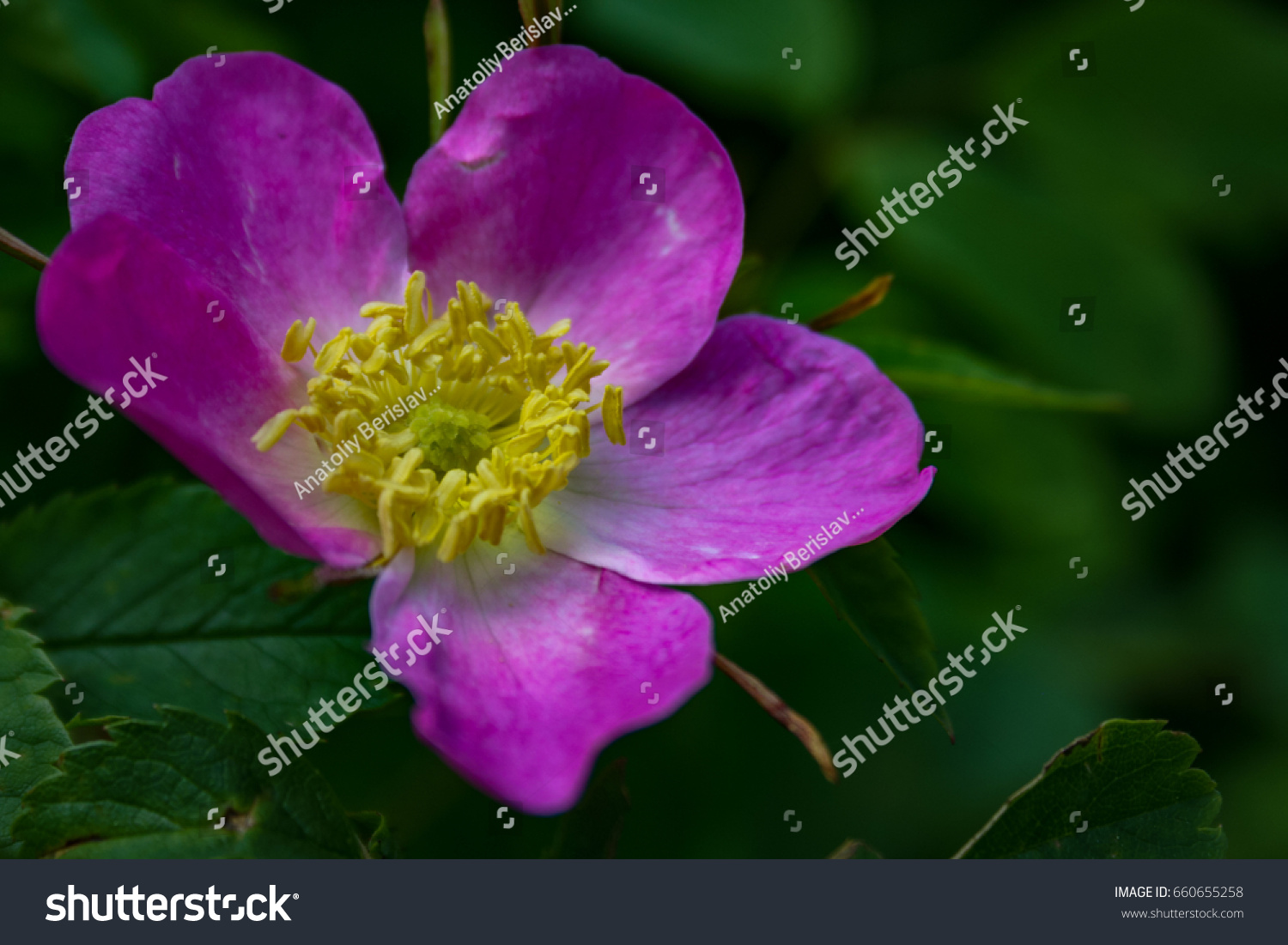 Briar Flowers A Bush Of A Blossoming Dog Rose Pink Flowers Of A