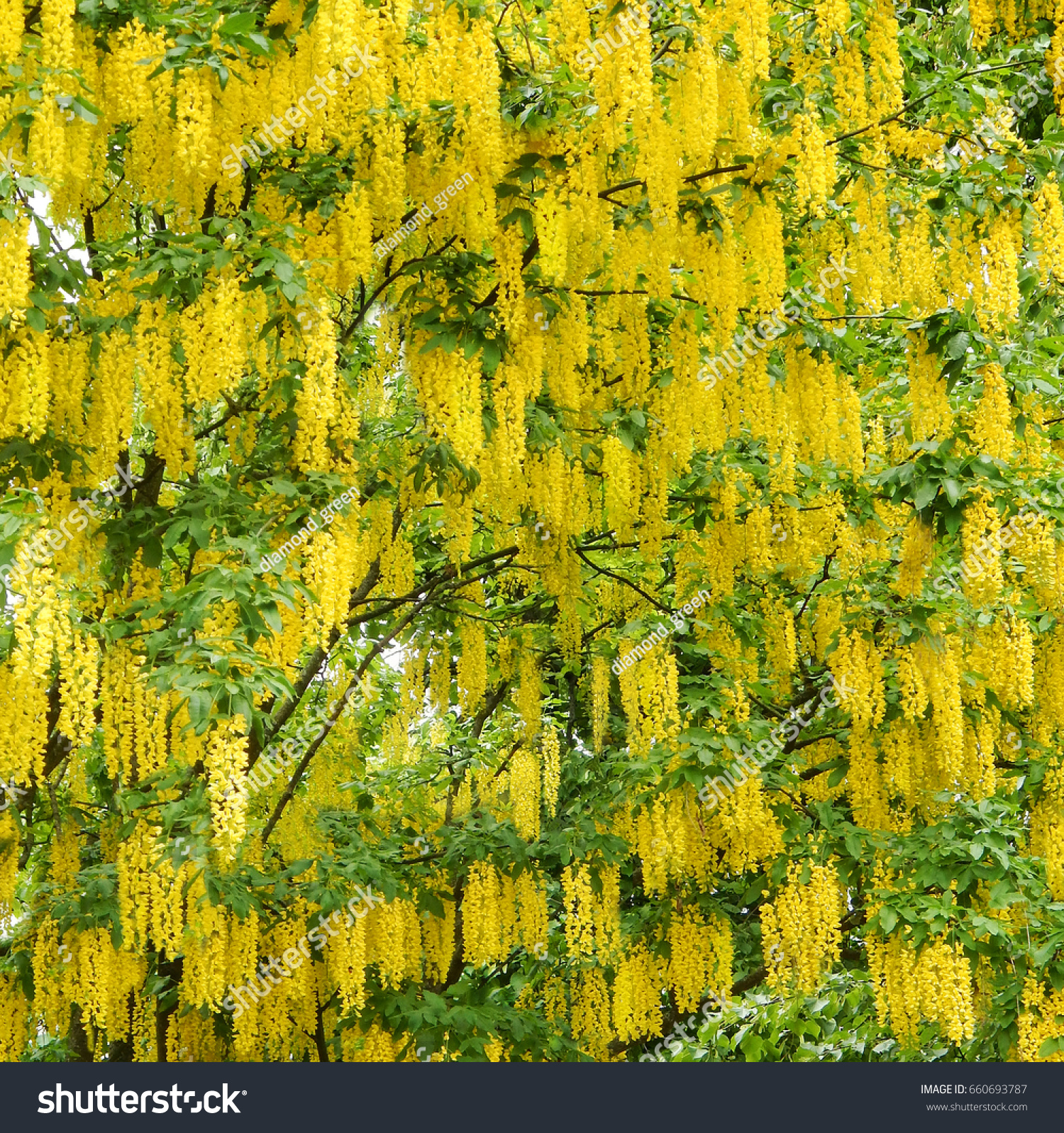 Acacia Tree Pattern Blooming Yellow Flowers Stock Photo Edit Now