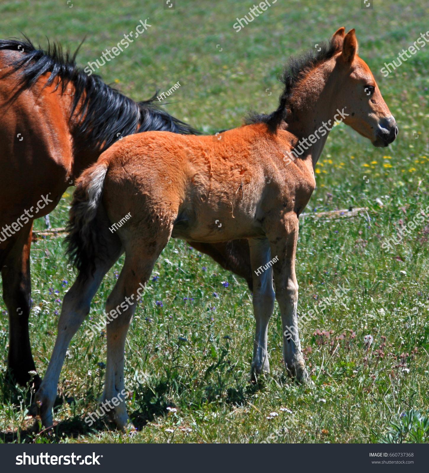 Wild Horse Mustang Buckskin Baby Colt Stock Photo Edit Now 660737368