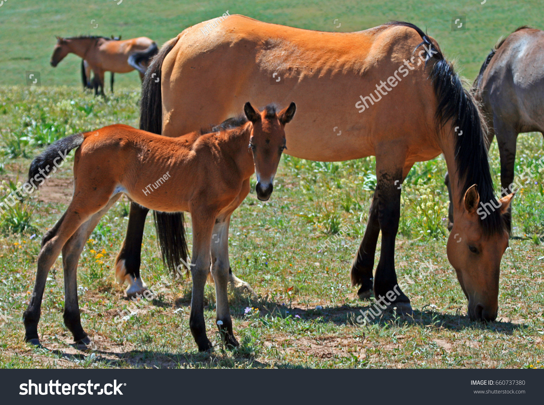 Wild Horse Mustang Buckskin Baby Colt Stock Photo Edit Now 660737380