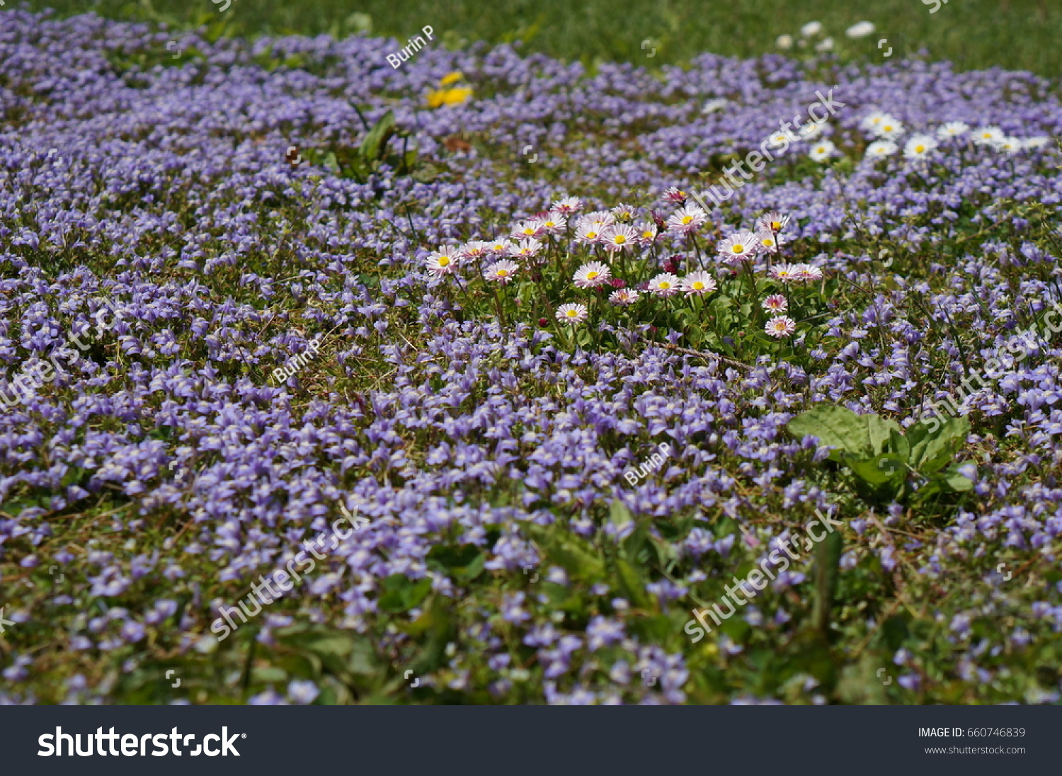 Small White Flowers Purple Flowers Field Stock Photo Royalty Free