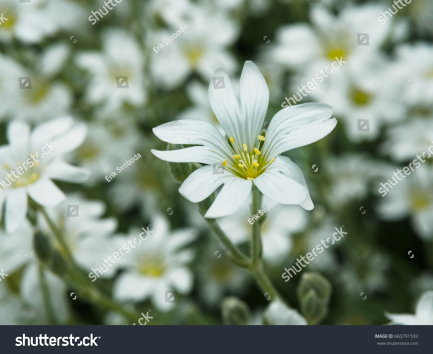 White Flower In Garden Field Of Small White Flowers Shooting With