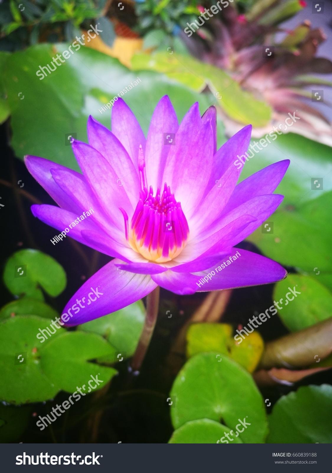 Beautiful lotus flower symbol buddha thailand stock photo 660839188 beautiful lotus flower is the symbol of the buddha thailand izmirmasajfo Images