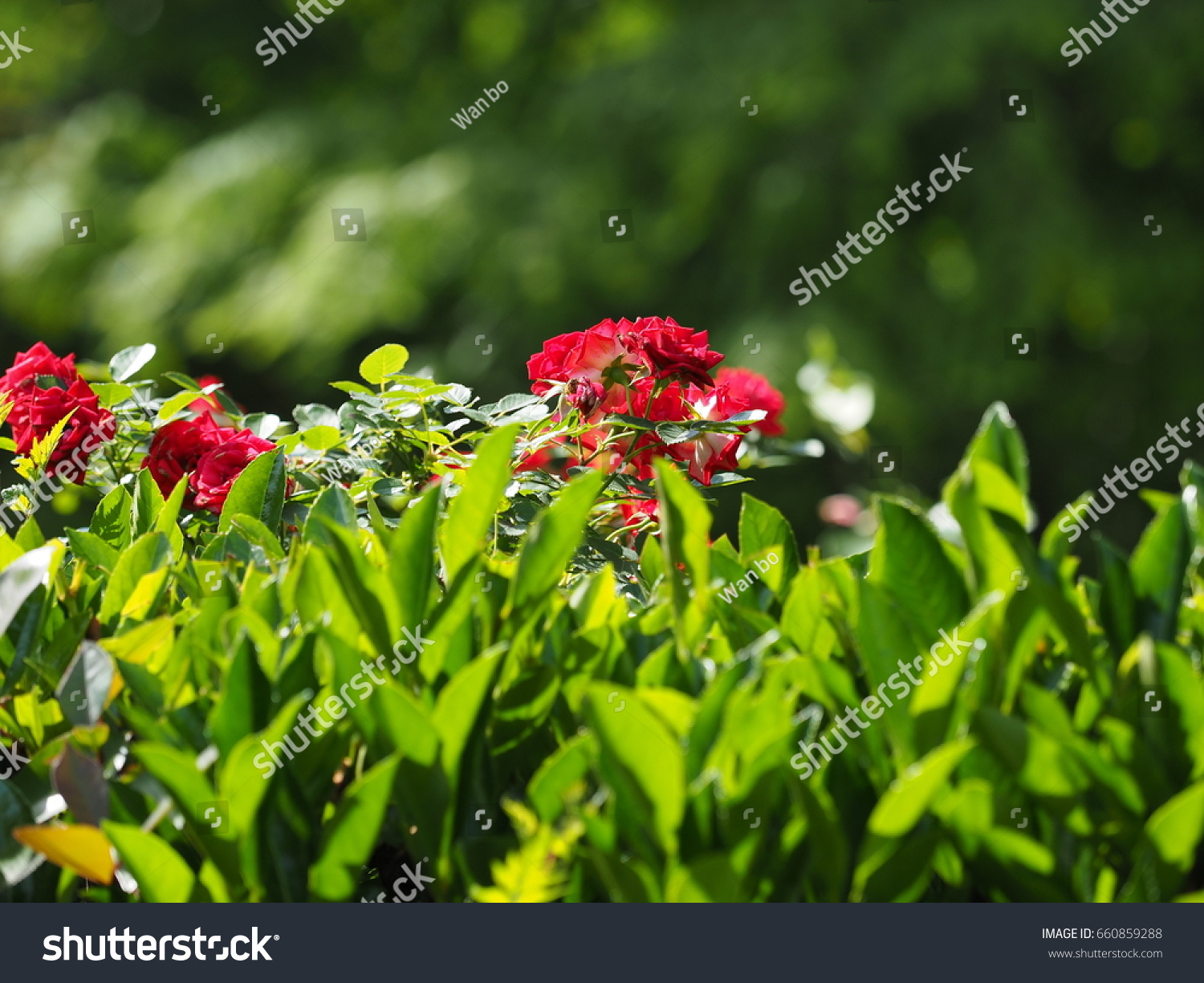 Zinnia Flower Blooming In Garden For Background Or Wallpaper Ez Canvas