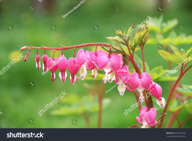 Pretty Pink Bleeding Heart Bush On Stock Photo Safe To Use