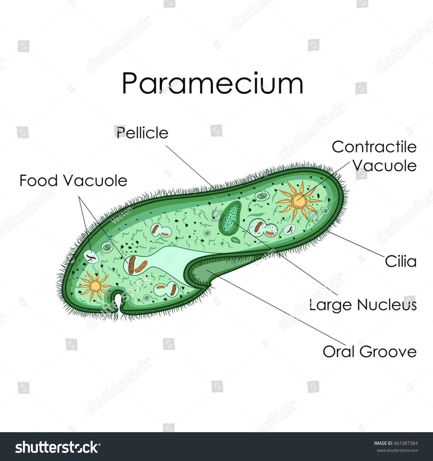 Education chart biology paramecium diagram vector stock vector education chart of biology for paramecium diagram vector illustration pooptronica Gallery