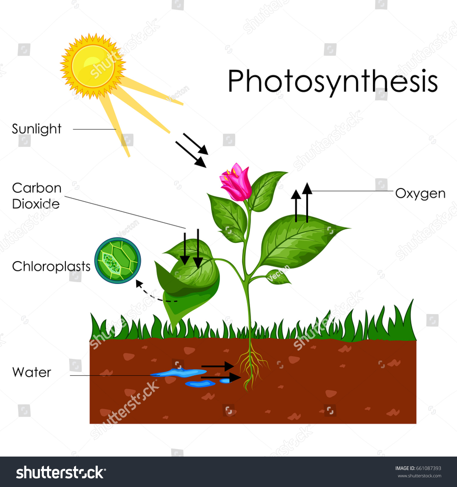 stock vector education chart of biology for photosynthesis process diagram vector illustration 661087393