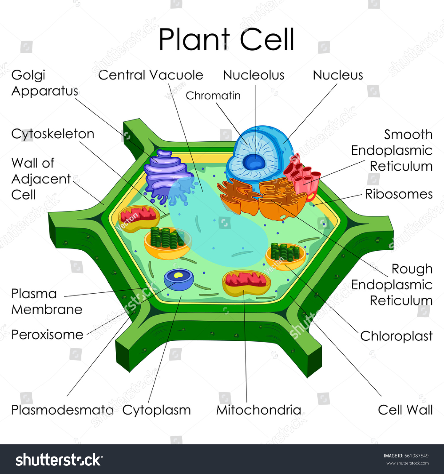 education chart biology plant cell diagram stock vector