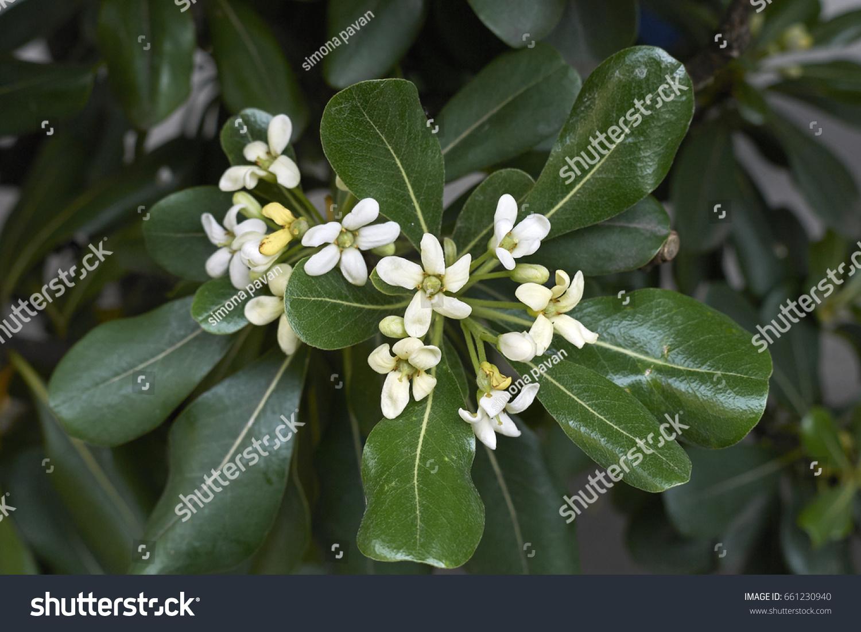 Shrub Fragrant White Flowers Stock Photo Edit Now 661230940
