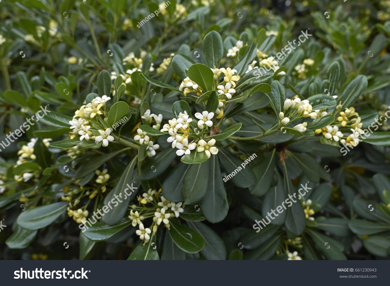 Best Wild Flowers Fragrant White Flowering Shrub Wild Flowers