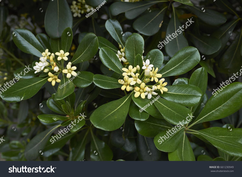 Shrub Fragrant White Flowers Stock Photo Royalty Free 661230949