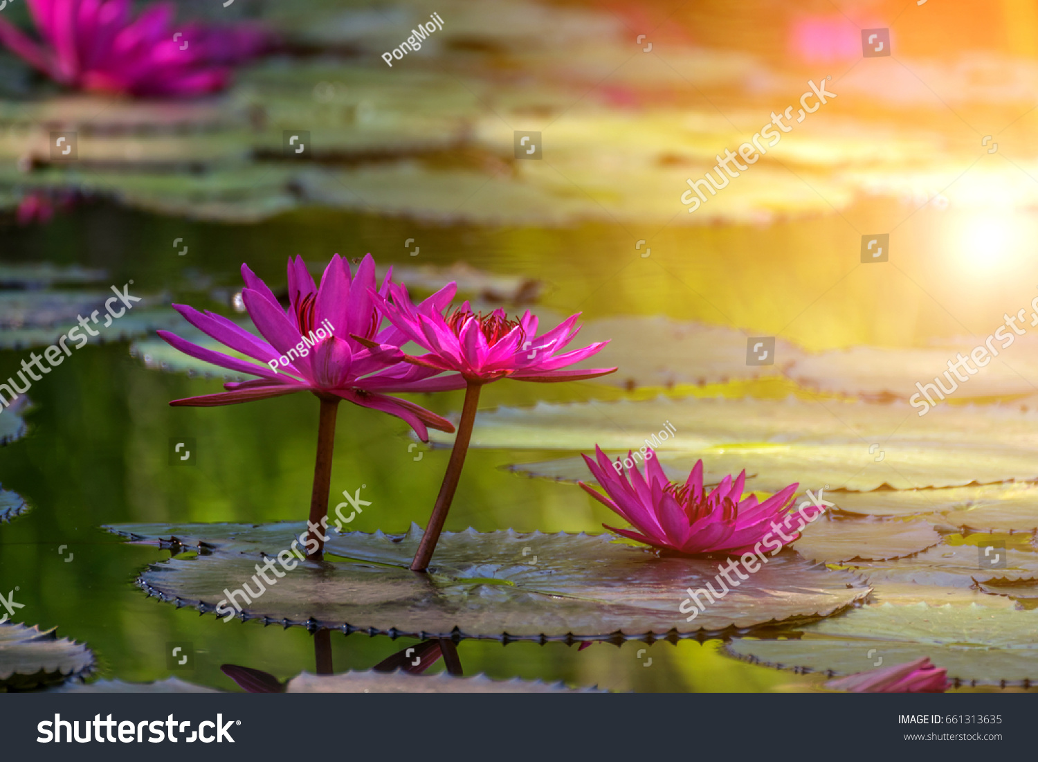 Lotus flower lotus nelumbo purple violet stock photo edit now lotus flower lotus or nelumbo purple violet and pink color naturally beautiful izmirmasajfo