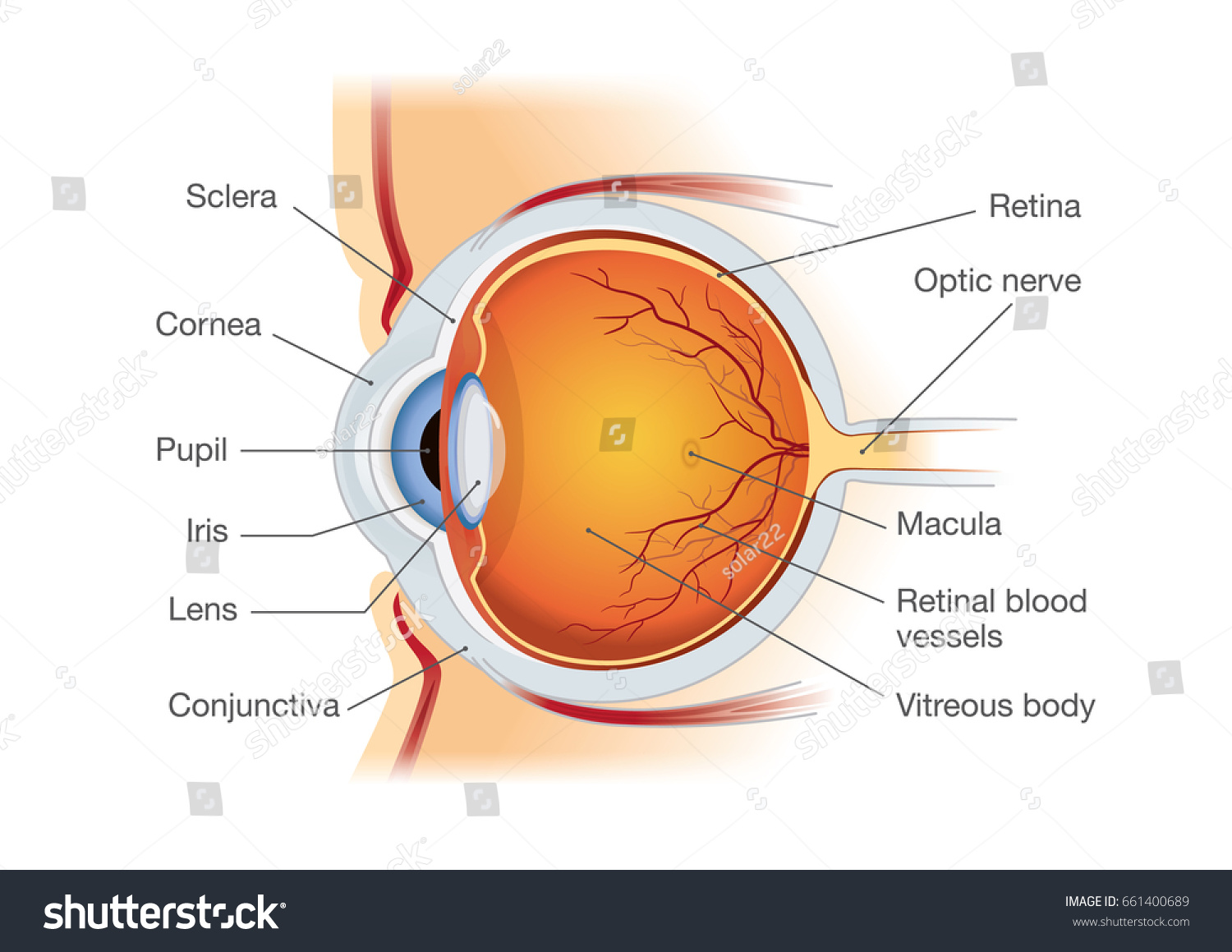 Human Eye Anatomy Side View Illustration Stock Vector Royalty Free