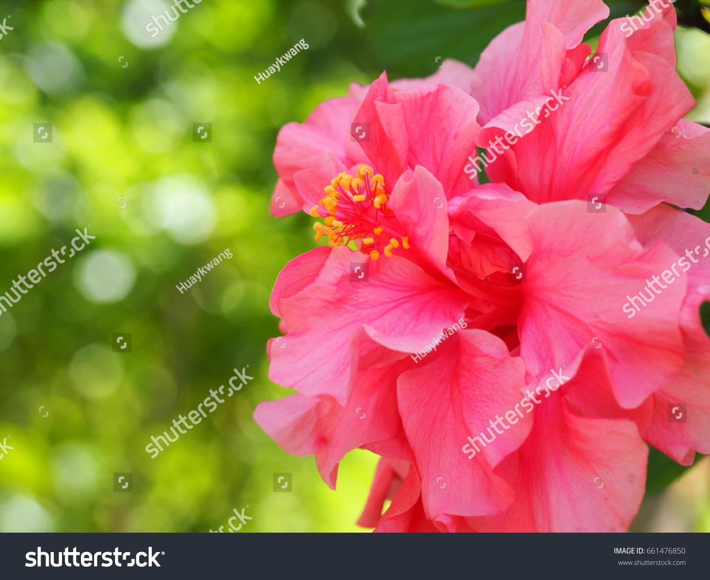 Double Pink Hibiscus Hawaiian Flower Topsimages