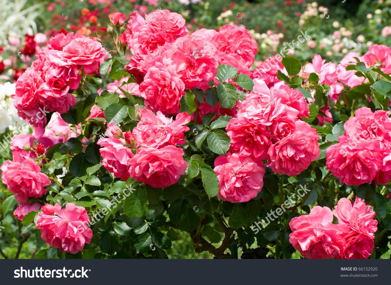Bush Of Beautiful Pink Roses Stock Photo 66152920