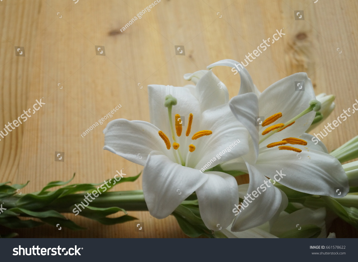 Madonna lily flower image collections flower wallpaper hd white madonna lily flower lilium candidum stock photo 661578622 white madonna lily flower lilium candidum izmirmasajfo izmirmasajfo Gallery